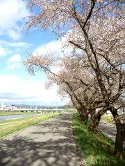 Toyosakura