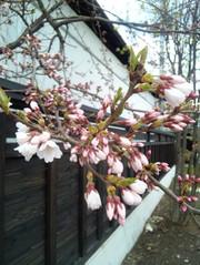 Sakura13_2