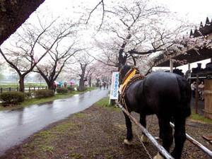 Sakura13_3