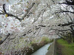 Sakura13_4