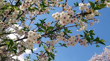 Sakura14_1