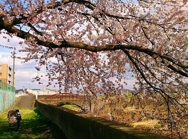 Sakura14_3