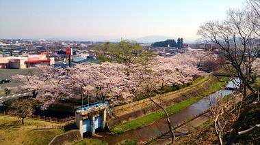 Sakura14_6