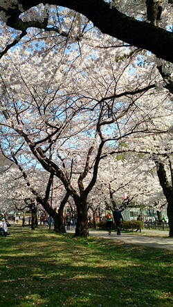 Sakura14_10