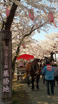 Sakura14_11