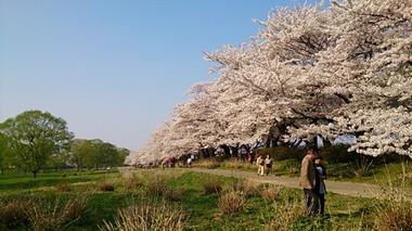 Sakura14_9