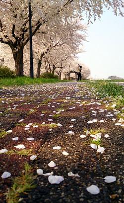 Sakura14_14_2
