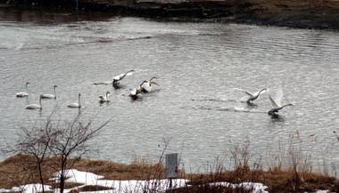Swan15_2