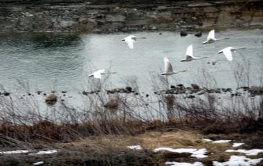 Swan15_5