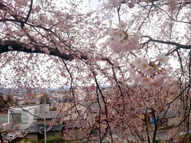 Sakura15_1
