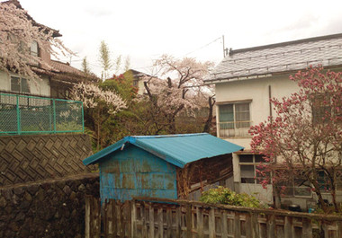 Sakura15_6