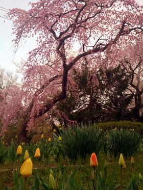 Sakura15_11