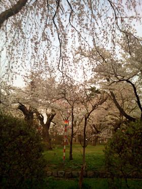 Sakura15_12