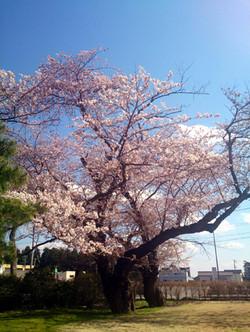 Sakura15_7
