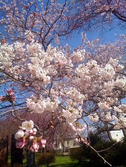 Sakura15_8