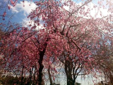Sakura15_9_2