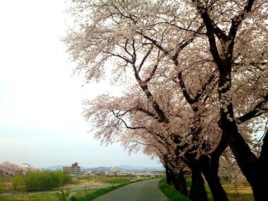 Sakura15_13_2