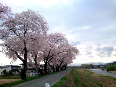 Sakura15_14