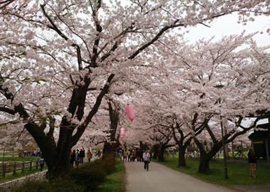 Sakura15_15
