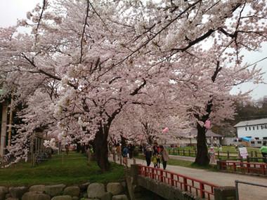 Sakura15_16