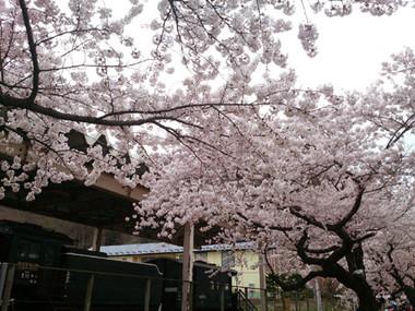Sakura15_17