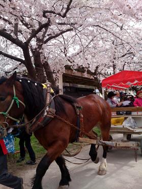 Sakura15_18
