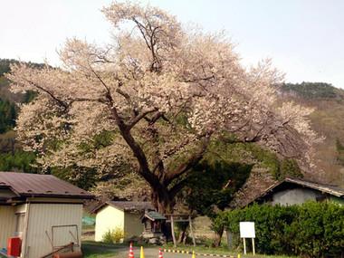 Sakura15_20