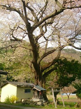 Sakura15_22