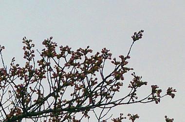 Sakura15_26_2