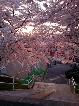 Sakura15_30_2