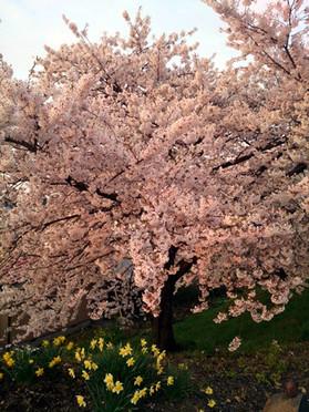Sakura15_33_2