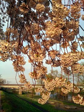 Sakura15_34