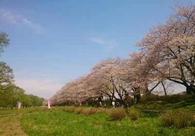 Sakura15_35