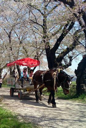 Sakura15_36