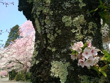 Sakura15_39