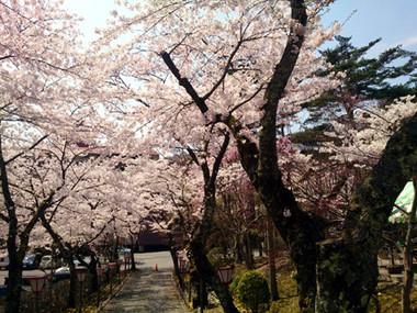 Sakura15_40