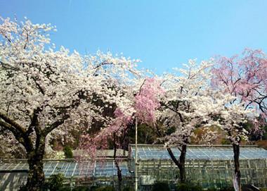 Sakura15_41
